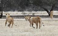 В индийском сафари-парке мужчину растерзали львы