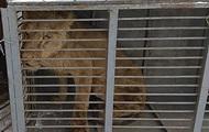 Из зоопарка на Донбассе забрали истощенного льва