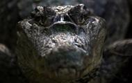 Отец укусил крокодила, чтобы спасти из его пасти сына