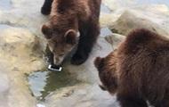 "Турист ""покормил"" медведей своим iPhone"