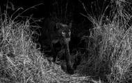 В Кении впервые за столетие сняли черного леопарда
