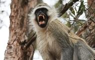 В Индии обезьяна украла двухлетнего мальчика