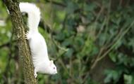 В Великобритании сняли редчайшую белку-альбиноса