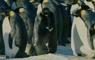 Уникального черного пингвина показали в видео