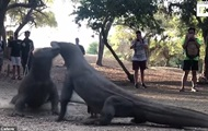 Жесткую схватку двух варанов сняли на видео