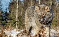 В Тернопольской области бешеная волчица покусала мужчину и 18 собак