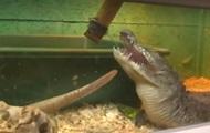 У Вінниці працює крокодиляча ферма