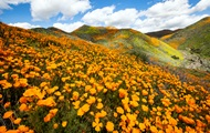 Возле Лос-Анджелеса зацвели поля оранжевых маков