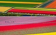 В Нидерландах зацвели миллионы тюльпанов