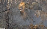 Схватка львиц со взрослым самцом попала на видео