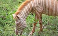 В Танзании сняли редчайшую зебру-альбиноса