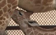 В зоопарке Мексики показали жирафенка