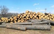 На Харьковщине неизвестные вырубили столетние дубы