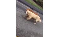 Собаки пробежали по трассе с полицейским эскортом