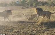 Схватку старого льва с молодыми сняли на видео