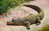 Аллигатор на матрасе в форме аллигатора стал звездой Сети