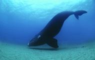 У берегов Канады три редких кита запутались в сетях