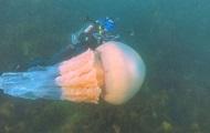 В Британии дайверы нашли аномально большую медузу