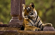 В Индии толпа забила до смерти тигра-убийцу