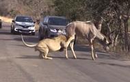 В ЮАР лев загрыз антилопу прямо на проезжей части