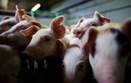 В Украине уничтожили 170 тысяч свиней с начала года