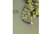 Убивший свинью голодный крокодил попал на видео