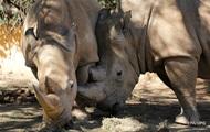 Ученые из Кении сохранили яйцеклетки вымирающего белого носорога