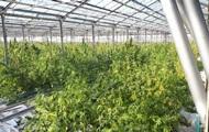 На Прикарпатье нашли плантацию марихуаны в четыре гектара