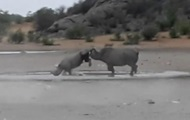 Драка редких носорогов попала на видео