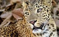Найди леопарда: В Сети безуспешно ищут хищника среди камней