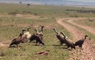 Грифы убили детеныша газели на глазах туристов