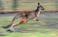 В Австралии кенгуру напал на парашютиста