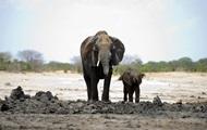 В Зимбабве из-за голода погибли 55 слонов