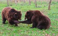 Владельцу зоопарка в Ялте пришлось скормить карликовых свиней голодным львам и тиграм