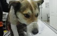 В Хмельницком чиновник привязал собаку к машине и протащил ее 1,5 км