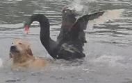 Черный лебедь хотел утопить пса на глазах хозяйки