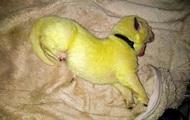 В США родился щенок с ярко-зеленой шерстью