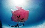 Фотограф снял уникального розового ската