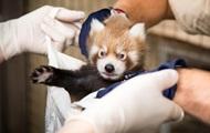 Ученые открыли новый вид красных панд