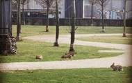 Карантин в Италии: В Милане парки заполонили зайцы