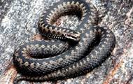 Число постраждалих від змій знизилося втричі