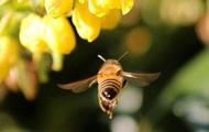 На Волині п'яні бджоли знищують чужі вулики