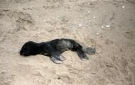 На узбережжя Намібії вимило тисячі мертвих тюленів