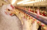 Как выращивается промышленная курица: 5 страшилок, которым не стоит верить