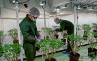 ООН исключила каннабис из списка опасных наркотиков