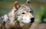 На Прикарпатье волки держат в страхе жителей одного из сел