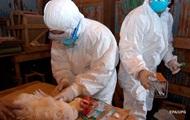 Случаями заражения людей птичьим гриппом занялась ВОЗ