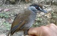 На Борнео заново открыли уникальную птицу