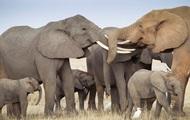 Африканские слоны находятся на грани вымирания