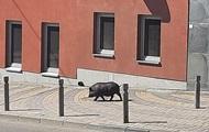 В Виннице свинья стала звездой соцсетей